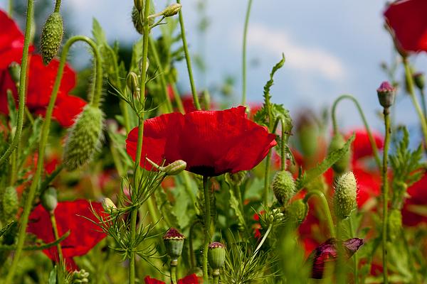Poppies Photograph - Poppies by Itai Minovitz
