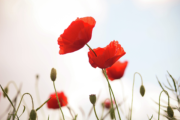 Horizontal Photograph - Poppies by Olivia Bell Photography