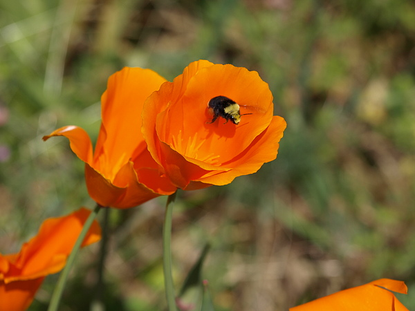 Bee Photograph - Poppy Beeing Admired by Laura Allenby