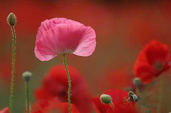Floral Photograph - Poppyfield by David Koll