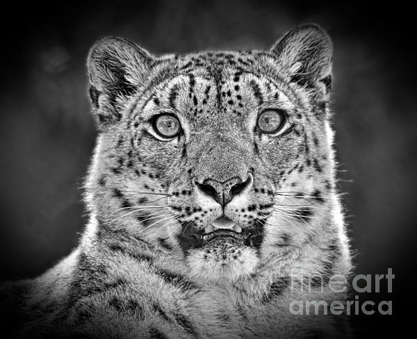 portrait of a snow leopard black and white version