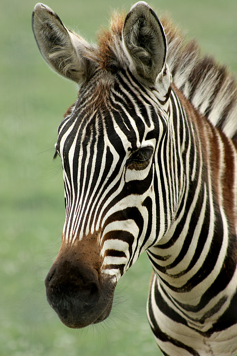 Portrait Of A Zebra Photograph By Barbara White
