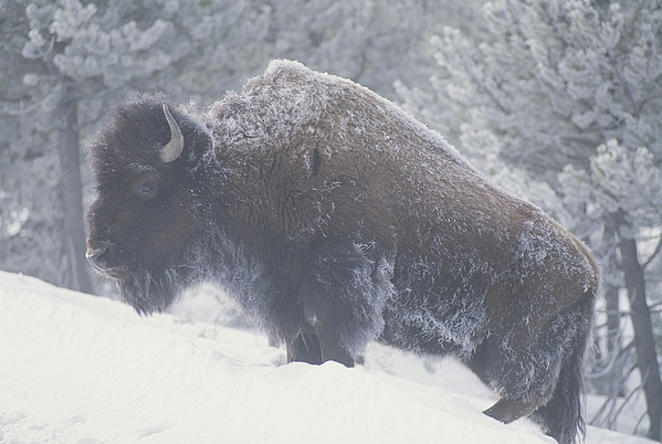 North America Photograph - Portrait Of An American Bison by Michael Melford