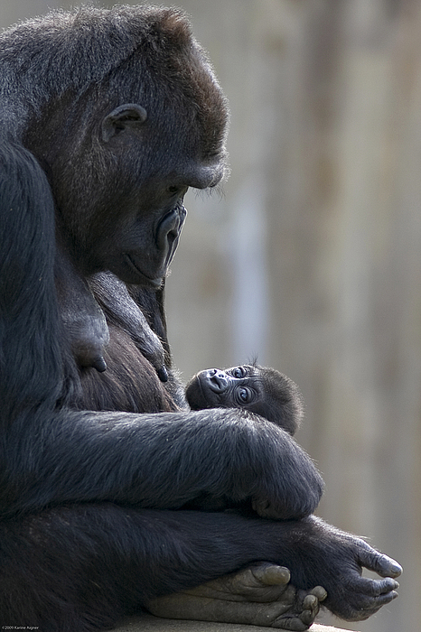 Outdoors Photograph - Portrait Of Gorilla Mother Looking by Karine Aigner