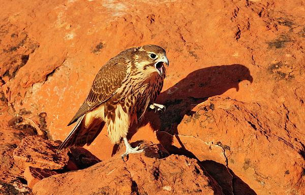 Birds Photograph - Prarie Falcon by Dennis Hammer