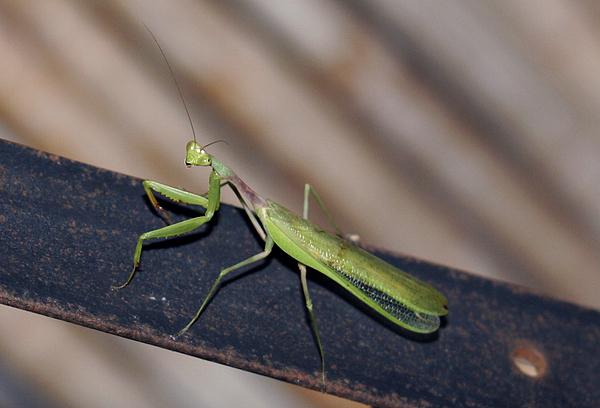 Animals Photograph - Praying Mantis by Mopics