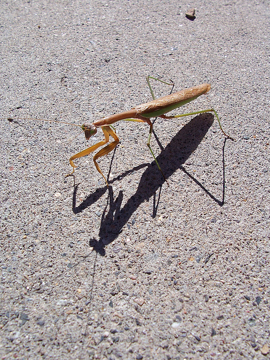 Praying Mantis Photograph - Praying Mantis by Sherry Vance