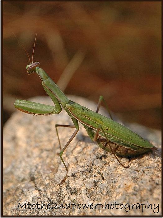 Preying Mantis Photograph - Pregomanti by Megen McAuliffe