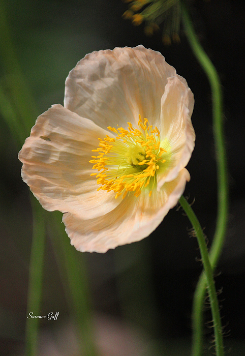Poppy Photograph - Pretty In Peach by Suzanne Gaff