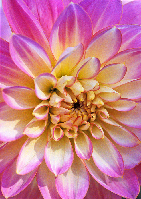 Flower Canvas Prings Photograph - Pretty In Pink Dahlia by Kathy Yates