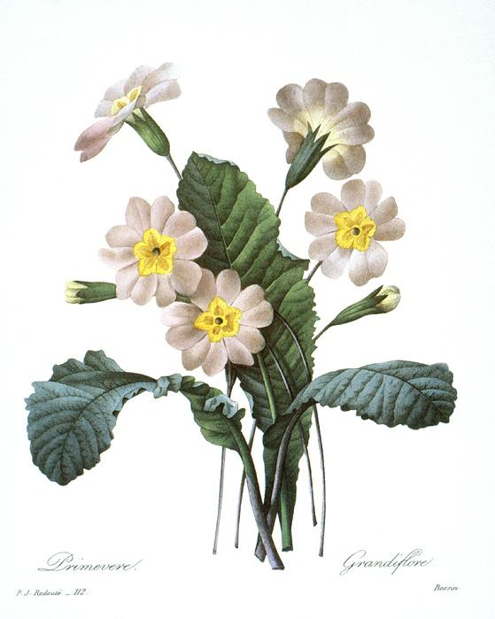 1833 Photograph - Primrose (primula Aucalis) by Granger