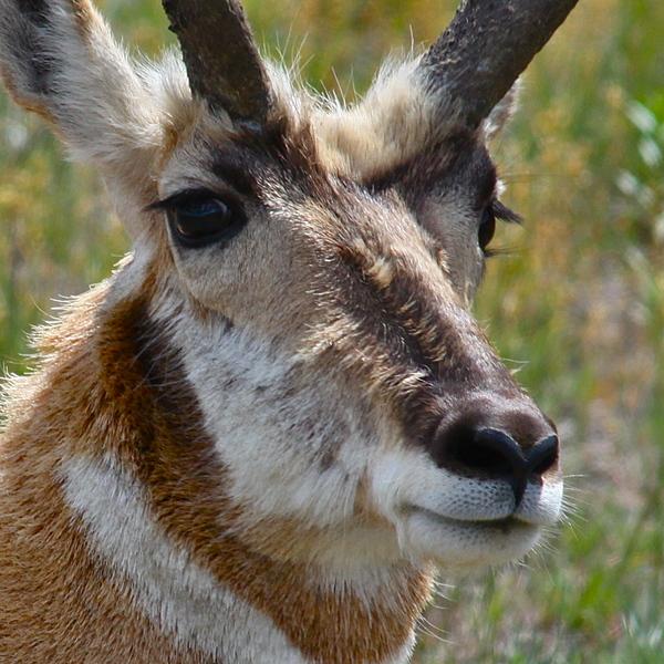 Pronghorn Photograph - Pronghorn Buck Face Study by Karon Melillo DeVega