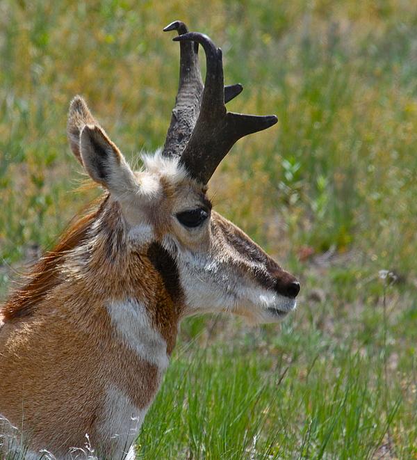 Pronghorn Photograph - Pronghorn Buck Profile by Karon Melillo DeVega