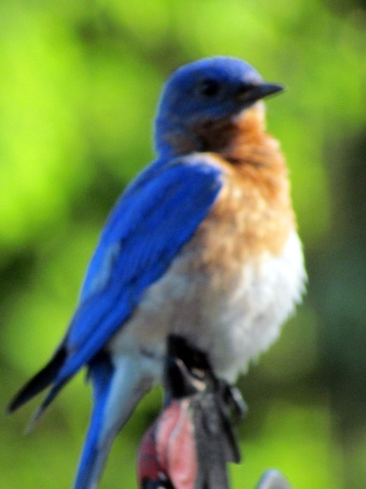 Eastern Blue Bird Photograph - Proud Bluebird Out Kitchen Window by Betty Pieper
