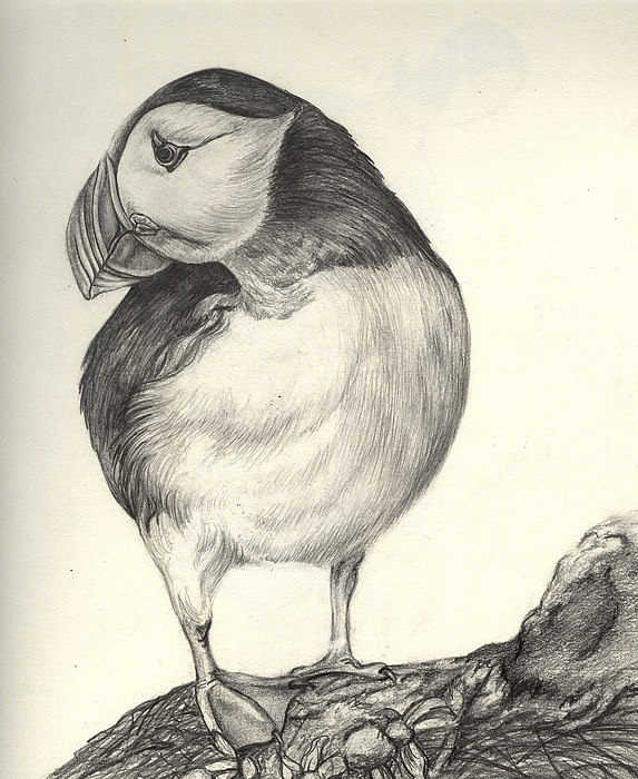 Puffin Drawing - Puffin by Aurora Jenson