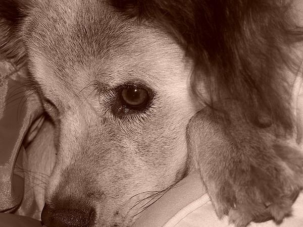 Dog Photograph - Puppy Dog Eyes by Amanda  Sanford
