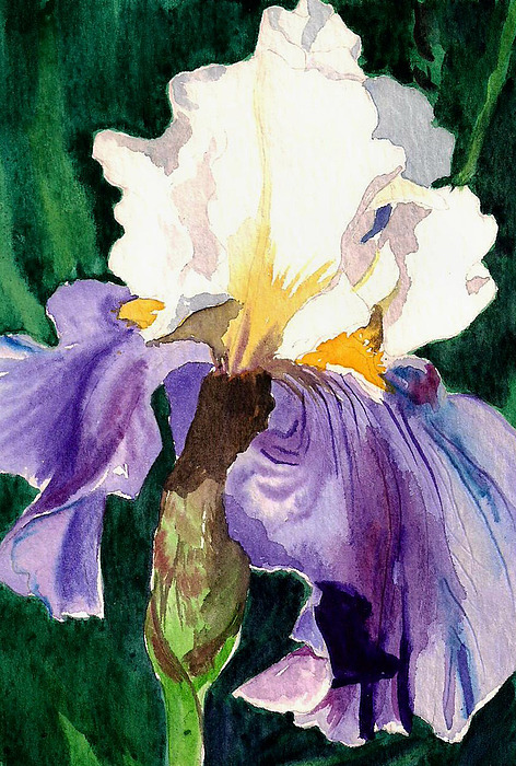 Flower Painting - Purple And White Iris by Janis Grau