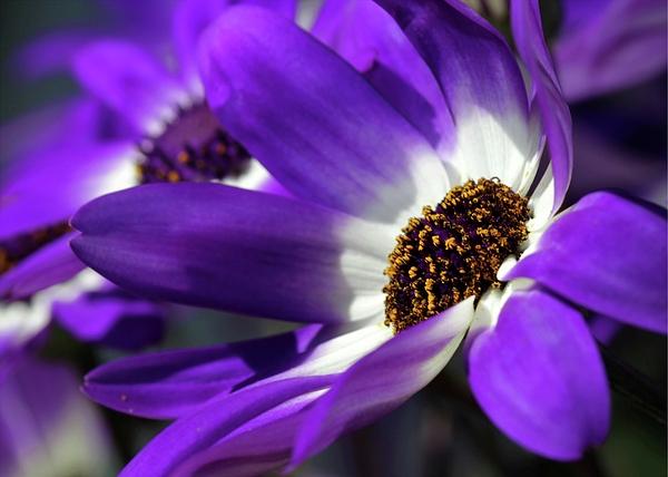 Flower Photograph - Purple Daisy by Sabrina L Ryan