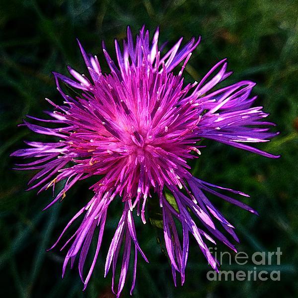 Beautiful Photograph - Purple Dandelions 4 by Jean Bernard Roussilhe