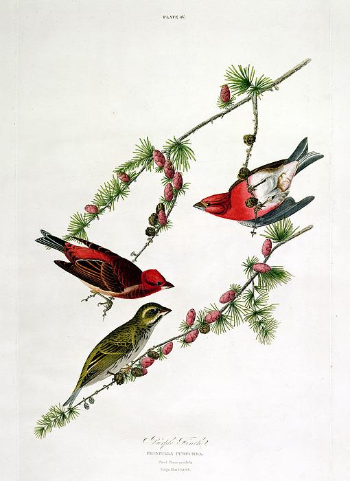 Purple Finch Painting - Purple Finch by John James Audubon