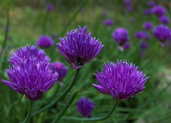 Garden Photograph - Purple Spice by Shannon Gresham