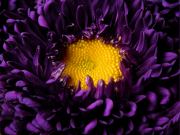 Nature Photograph - Purples - Zooming To The Center by Lucyna A M Green