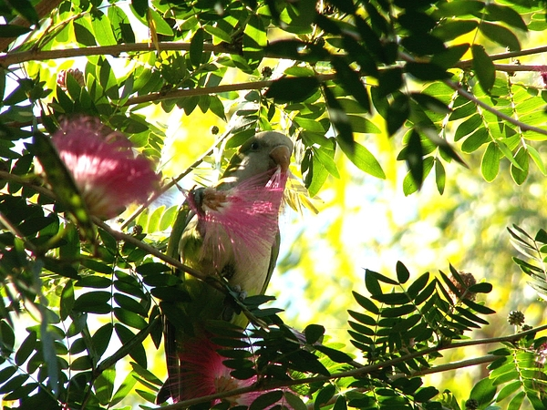 Quaker Parrot Photograph - Quaker Parrot With Mimosa Flower by Theresa Willingham