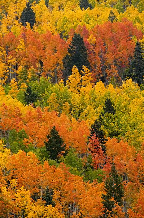 Ponderosa Pine Photograph - Quaking Aspen And Ponderosa Pine Trees by Ralph Lee Hopkins