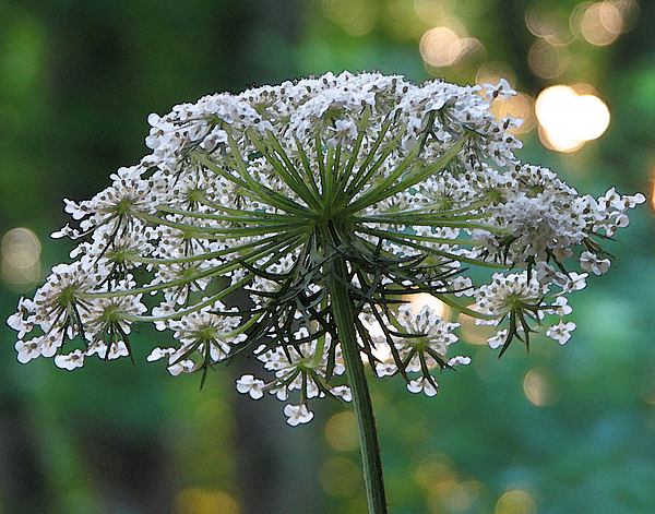Queen Anne's Lace Photograph - Queen Anne In Her Glory by Ginger Howland
