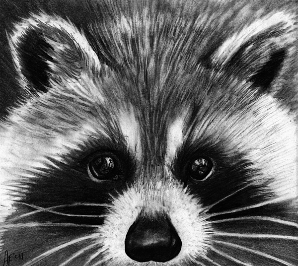 Raccoon Drawing by Alycia Ryan Raccoon Drawing
