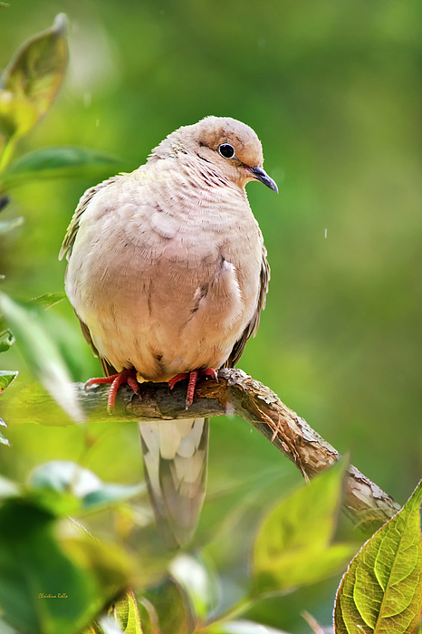 Bird Photograph - Rain Dove by Christina Rollo