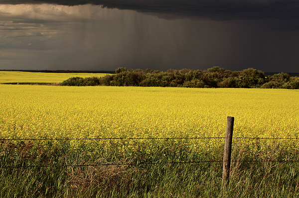 Clouds Digital Art - Rain Front Approaching Saskatchewan Canola Crop by Mark Duffy