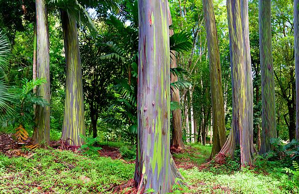 Rainbow Photograph - Rainbow Eucalyptus by Monica and Michael Sweet