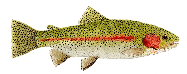 Rainbow Painting - Rainbow Trout Study by Thom Glace