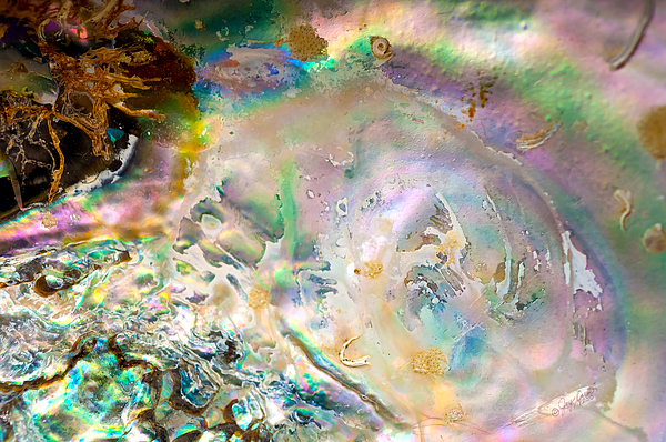Abalone Photograph - Rainbows And Seaweed by Joy Gerow