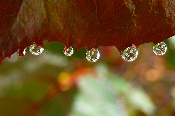 Leaf Photograph - Raindrops On A Red Leaf by Patricia Strand