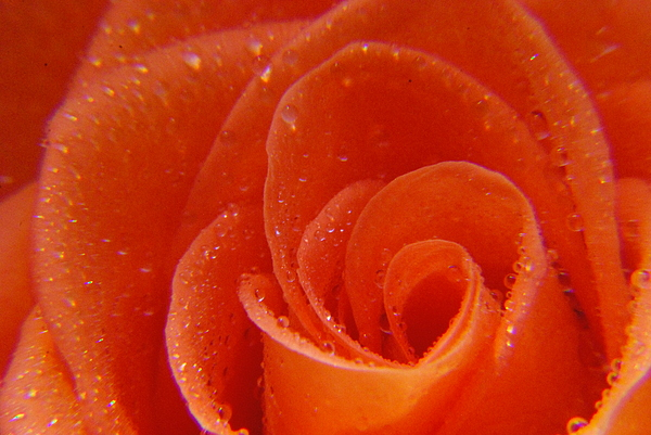 Rose Photograph - Raindrops On Roses by Sharrell Holcomb