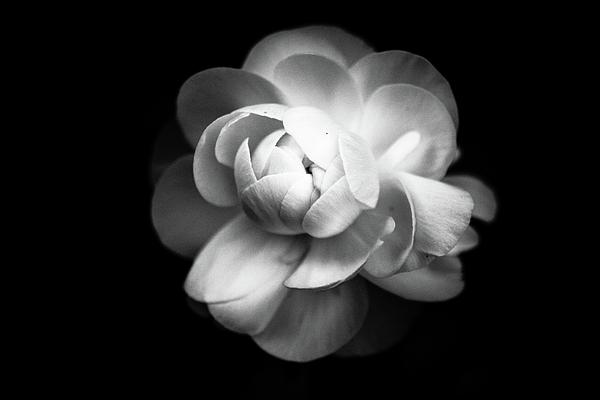 Horizontal Photograph - Ranunculus Flower by Annfrau