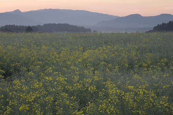 Brnik Photograph - Rapeseed Dawn by Ian Middleton