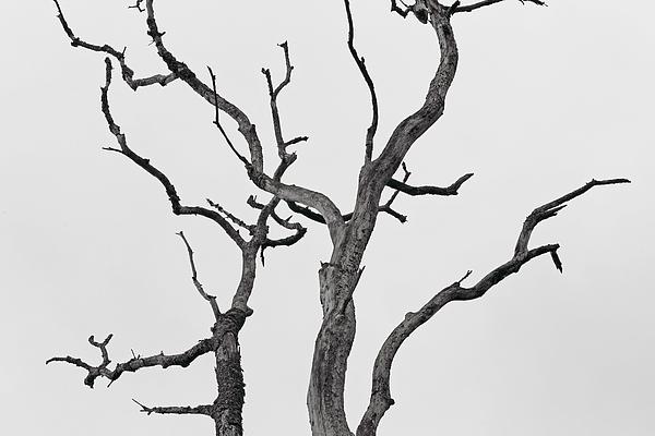 Dead Tree Photograph - Reaching by Josh Baldo