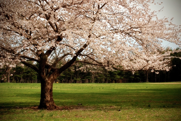 Cherry Blossom Tree Photograph - Reaching Out - Ocean County Park by Angie Tirado