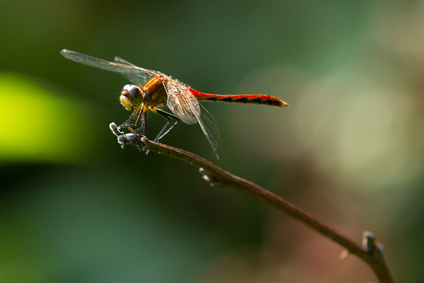 Insects Photograph - Ready For Flight by Frank Pietlock