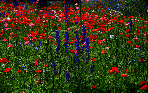 Poppies Photograph - Red And Blue Wildflowers And Poppies by Martin Morehead