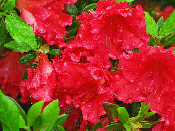Flower Photograph - Red Azaleas by Richard Singleton
