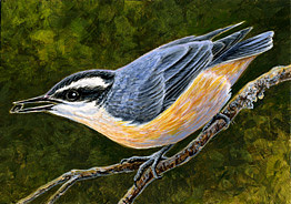 Birds Painting - Red-breasted Nuthatch Aceo by Shari Erickson