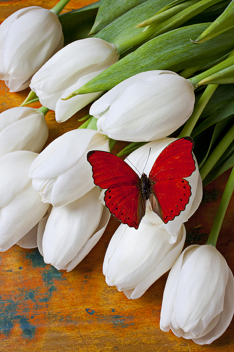 Red Butterfly White Tulips Tulip Photograph - Red Butterfly On White Tulips by Garry Gay