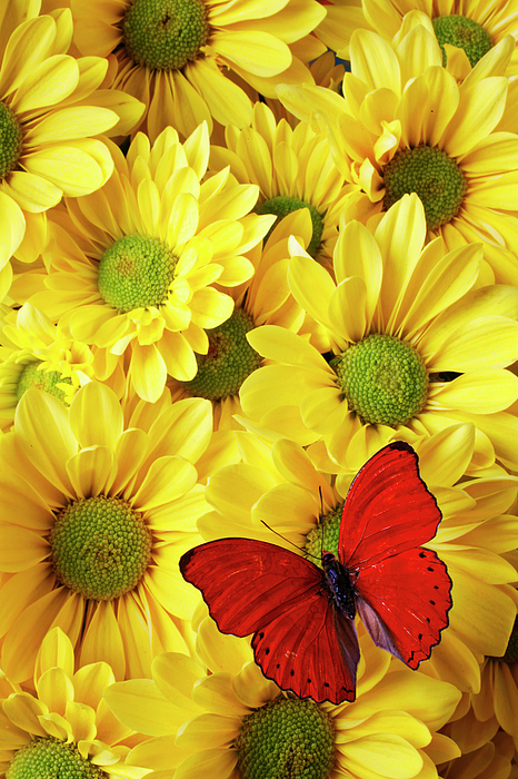 Red Butterfly Yellow Mums Flowers Photograph - Red Butterfly On Yellow Mums by Garry Gay