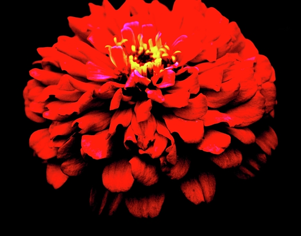 Flower Photograph - red by Dana Flaherty