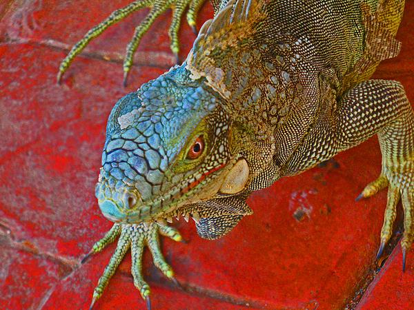 Iguana Photograph - Red Eyed Iguana Photo by Kelly     ZumBerge