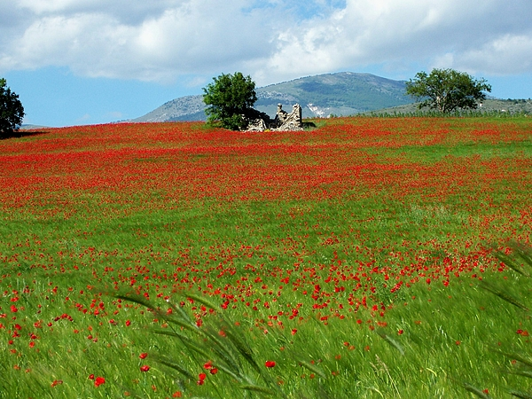 Poppies Photograph - Red Fields by Judy Kirouac